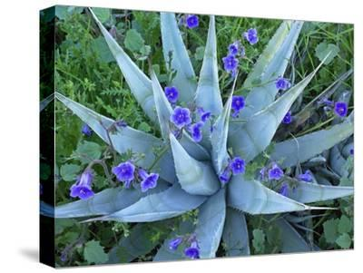 Desert Bluebell and Agave North America-Tim Fitzharris-Stretched Canvas Print