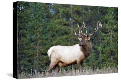Elk or Wapiti male portrait, North America-Tim Fitzharris-Stretched Canvas Print