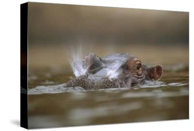 Hippopotamus breathing at water surface, Kenya-Tim Fitzharris-Stretched Canvas Print