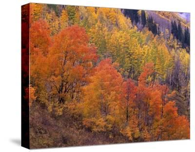 Aspen grove in fall colors, Washington Gulch, Gunnison National Forest, Colorado-Tim Fitzharris-Stretched Canvas Print