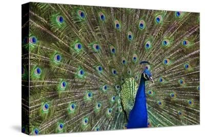 Indian Peafowl male with tail fanned out in courtship display, native to Asia-Tim Fitzharris-Stretched Canvas Print