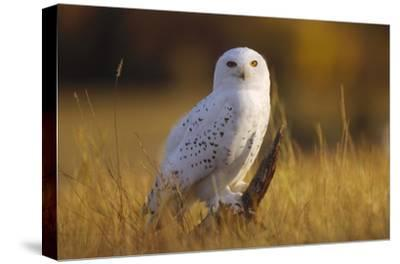 Snowy Owl adult amid dry grass, circumpolar species, British Columbia, Canada-Tim Fitzharris-Stretched Canvas Print