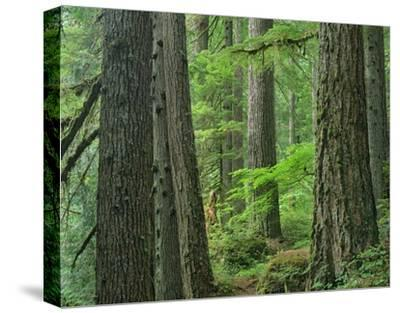 Old growth forest of Western Red Cedar Grove of the Patriarchs, Mt Rainier National Park-Tim Fitzharris-Stretched Canvas Print