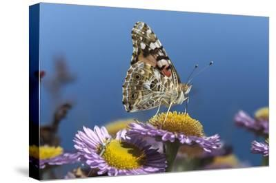 Painted Lady butterfly feeding on Purple Aster , California-Tim Fitzharris-Stretched Canvas Print