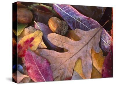 Acorns, Oak, Cherry and Sumac, fall, Petit Jean State Park, Arkansas-Tim Fitzharris-Stretched Canvas Print