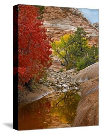 Maple and Cottonwood autumn foliage, Zion National Park, Utah-Tim Fitzharris-Stretched Canvas Print
