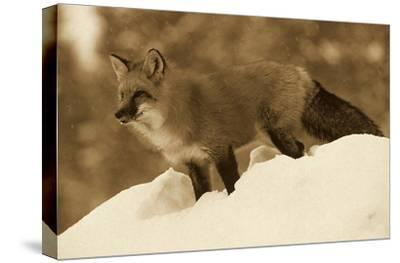 Red Fox standing at the top of a snow bank, Montana - Sepia-Tim Fitzharris-Stretched Canvas Print
