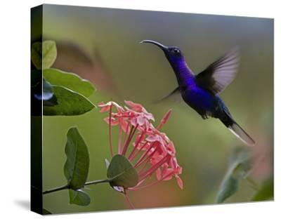 Violet Sabre-wing male hummingbird feeding at flower, Costa Rica-Tim Fitzharris-Stretched Canvas Print