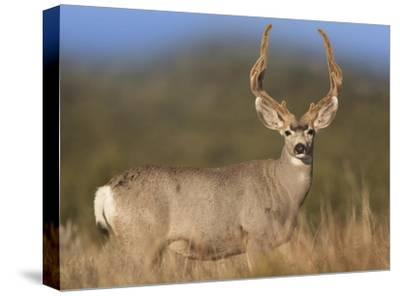 Mule Deer male in dry grass, North America-Tim Fitzharris-Stretched Canvas Print