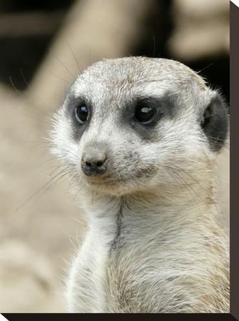 Meerkat Mammal Africa Animal-Wonderful Dream-Stretched Canvas Print