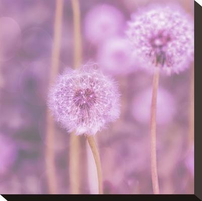 Pink Dandelion - Square-Lebens Art-Stretched Canvas Print