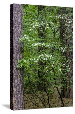 Dogwood Tapestry-William Neill-Stretched Canvas Print