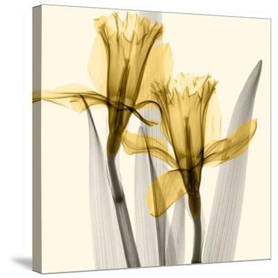 Daffodils II-Steven N^ Meyers-Stretched Canvas Print