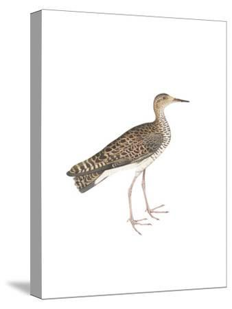 Bhegondee Snipe-Maria Mendez-Stretched Canvas Print