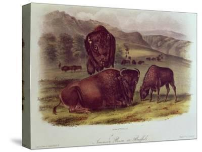 Bison from Quadrupeds of North America (1842-5)-John James Audubon-Stretched Canvas Print