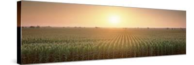 View of the Corn Field During Sunrise, Sacramento County, California, USA--Stretched Canvas Print