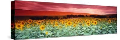 Sunflowers, Corbada, Spain--Stretched Canvas Print