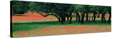 Indian Paintbrushes and Scattered Oaks, Texas Hill Co, Texas, USA--Stretched Canvas Print