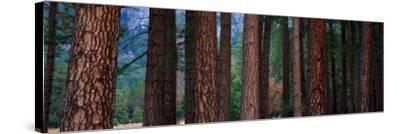 Ponderosa Pines in Yosemite National Park, California, USA--Stretched Canvas Print