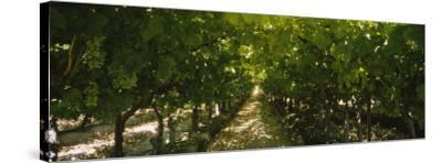Bunch of Grapes in a Vineyard, Fillmore, California, USA--Stretched Canvas Print