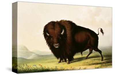 A Bison, circa 1832-George Catlin-Stretched Canvas Print