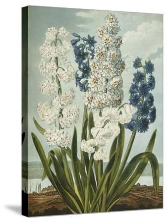 Hyacynths-Robert John Thornton-Stretched Canvas Print
