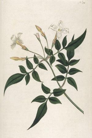 Common Jasmine-William Curtis-Stretched Canvas Print