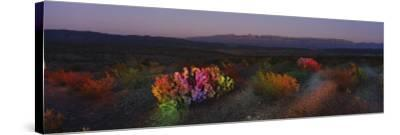 Flowers in a Field, Big Bend National Park, Texas, USA--Stretched Canvas Print