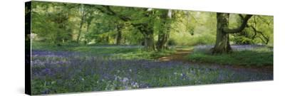 Bluebells in a Forest, Thorp Perrow Arboretum, North Yorkshire, England--Stretched Canvas Print