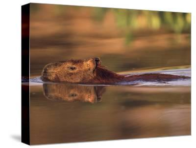 Capybara Swimming, Pantanal, Brazil-Pete Oxford-Stretched Canvas Print