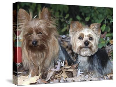 Yorkshire Terrier Dogs, One Clipped, Illinois, USA-Lynn M^ Stone-Stretched Canvas Print
