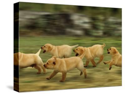 Domestic Dogs, Labrador Puppies Running-Jane Burton-Stretched Canvas Print