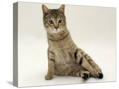 Domestic Cat, Oestrus Female Tabby Rolling, on Heat-Jane Burton-Stretched Canvas Print