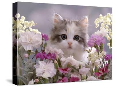 8-Week, Silver Tortoiseshell-And-White Kitten, Among Gillyflowers, Carnations and Meadowseed-Jane Burton-Stretched Canvas Print