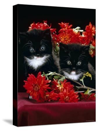 Domestic Cat, Persian-Cross Kittens with Chrysanthemums-Jane Burton-Stretched Canvas Print