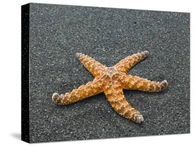 Ochre Seastar, Exposed on Beach at Low Tide, Olympic National Park, Washington, USA-Georgette Douwma-Stretched Canvas Print