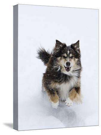 Female Red Tricolor Australian Shepherd Dog Running in Snow, Longmont, Colorado, USA-Carol Walker-Stretched Canvas Print