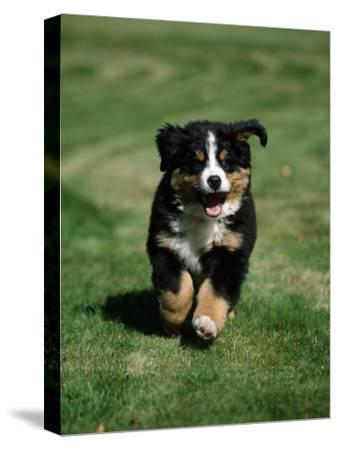 Bernese Mountain Puppy Running-Petra Wegner-Stretched Canvas Print