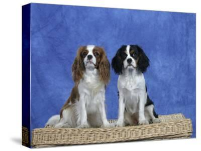Dogs, Two Cavalier King Charles Spaniels on Basket-Petra Wegner-Stretched Canvas Print
