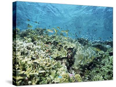 Shallow Top of the Reef is Nursery for Young Fish, Sabah, Malaysia, Southeast Asia-Lousie Murray-Stretched Canvas Print