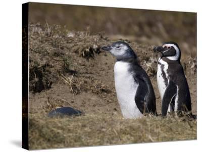 Magellanic Penguin Colony, Seno Otway, Patagonia, Chile, South America-Sergio Pitamitz-Stretched Canvas Print