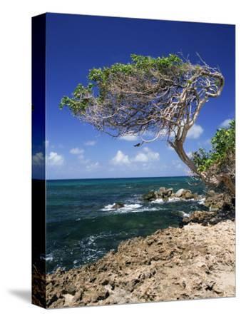 Divi Divi Tree, Cudarebe Point, Aruba, West Indies, Dutch Caribbean, Central America-Sergio Pitamitz-Stretched Canvas Print