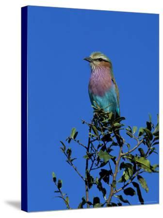Lilac-Breasted Roller (Coracias Caudata), Kruger National Park, South Africa, Africa-Steve & Ann Toon-Stretched Canvas Print