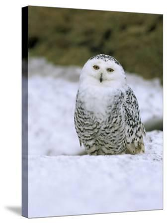 Captive Snowy Owl (Nictea Scandiaca)-Steve & Ann Toon-Stretched Canvas Print