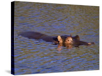 Common Hippopotamus (Hippopotamus Amphibius), Kruger National Park, South Africa, Africa-Steve & Ann Toon-Stretched Canvas Print