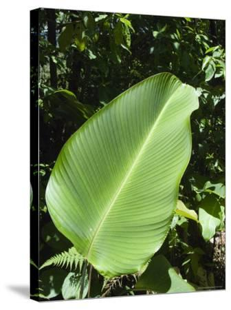 Leaf, Arenal Area, Costa Rica, Central America-R H Productions-Stretched Canvas Print
