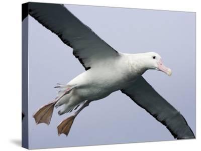 Gibson's Albatross, Kaikoura, New Zealand-David Wall-Stretched Canvas Print