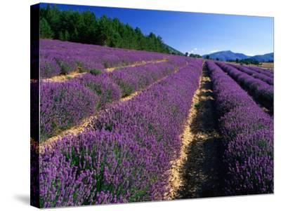 Rows of Lavender in Bloom, Vaucluse Region, Sault, Provence-Alpes-Cote d'Azur, France-David Tomlinson-Stretched Canvas Print