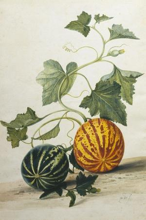 Study of Gourds-Pieter Withoos-Stretched Canvas Print