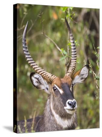 Male Water Buck, Maasai Mara, Kenya-Joe Restuccia III-Stretched Canvas Print